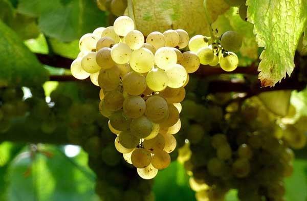uva blanca albariño