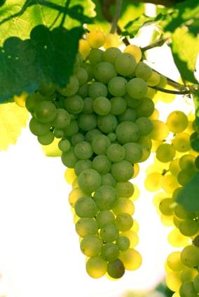 uva blanca chenin blanc