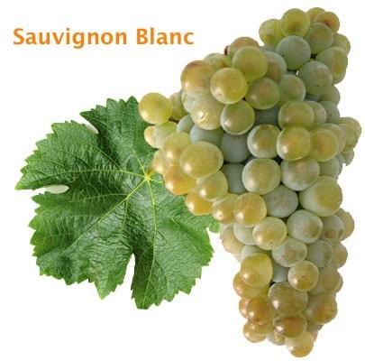 uva blanca sauvignon blanc
