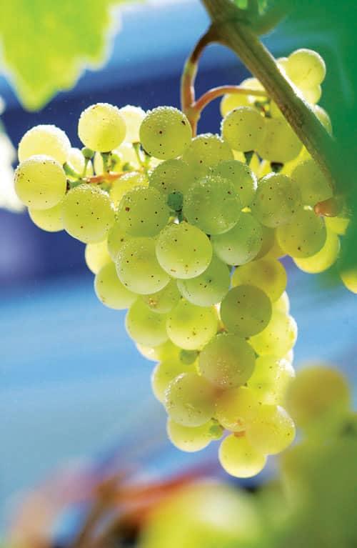uva blanca torrontes