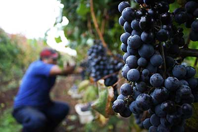 racimo uva carmenere