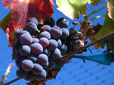 racimo uva garnacha